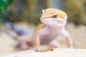 gecko and a meal worm