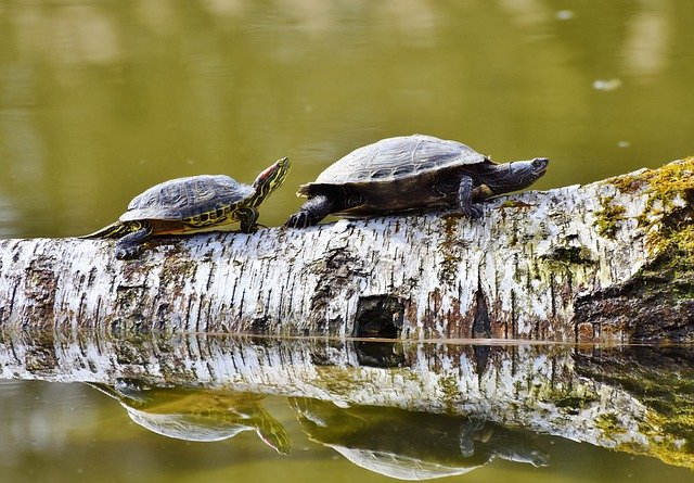 red ear slider on a stick